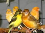 Kanarienvögel - Kanarien günstig