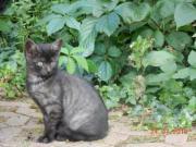 Katzenbaby silber- graphit