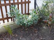 Kirschlorbeer Baum