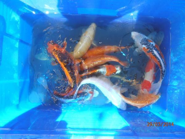 Aquarium fische zubeh r kaufen bei deine for Welche fische passen zu kois
