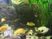 Labidochromis caereleu