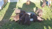 Labrador von der