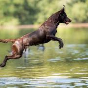 Labrador Welpen ( Arbeitslinie )