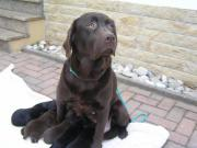 Labrador Welpen in
