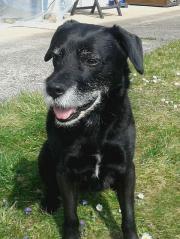 Labradormischling 10 Jahre