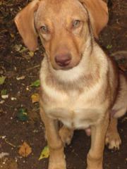 Labradormischlingswelpe 4 Monate,