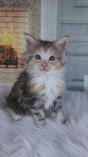 Letztes Maine Coon
