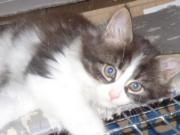 Maine Coon Kater(