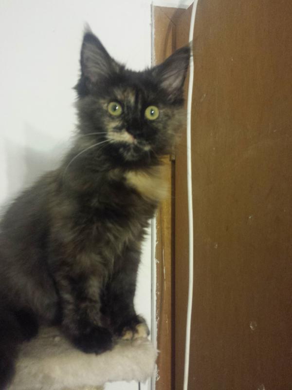 maine coon katzen suchen ein zuhause in pinneberg kaufen und verkaufen ber private kleinanzeigen. Black Bedroom Furniture Sets. Home Design Ideas