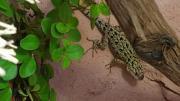 malachit stachelleguan Weibchen