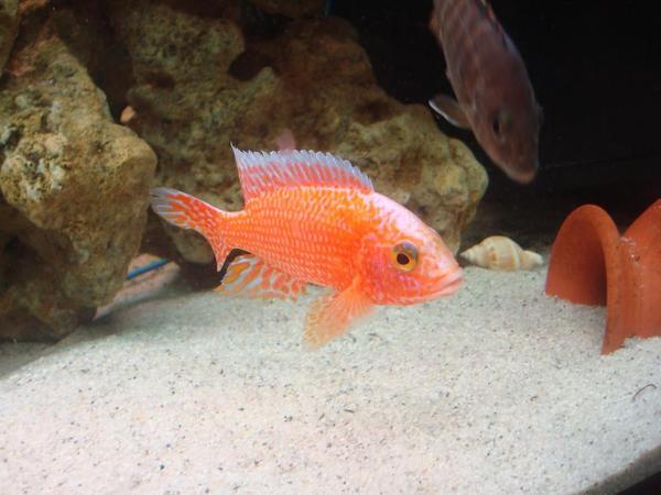 malawi buntbarsche aulonacara firefishe in worms fische aquaristik kaufen und verkaufen. Black Bedroom Furniture Sets. Home Design Ideas