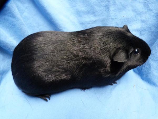 meerschweinchen glatthaar m del sucht neues zuhause in weinheim kleintiere kaufen und. Black Bedroom Furniture Sets. Home Design Ideas