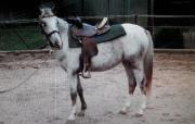 Nette 4jährige Ponystute