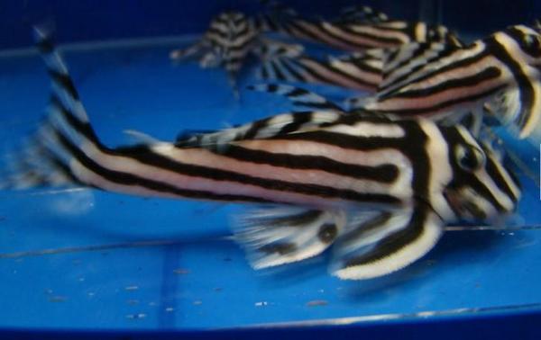 Wels fische kleinanzeigen tiermarkt deinetierwelt for Blaue teichfische