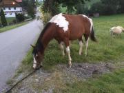 Paint Horse Wallach,