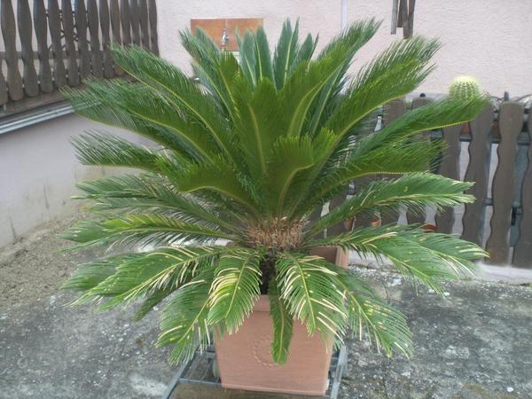 palmfarn cyca revoluta in hambr cken pflanzen kaufen und verkaufen ber private kleinanzeigen. Black Bedroom Furniture Sets. Home Design Ideas