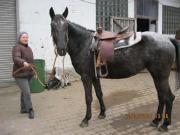 Pferd Appaloosa Mix