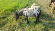 Pony Stutfohlen Pony in Sonderlackierung abzugeben sehr verschmust kennt Halfter und Hufe geben.Sie besitzt einen Pass und ist gechipt.Unsere Sheela kann im Oktober ... 400,- D-06688Schkortleben Kriechau Heute, 10:22 Uhr, Schkortleben Kriechau - Pony Stutfohlen Pony in Sonderlackierung abzugeben sehr verschmust kennt Halfter und Hufe geben.Sie besitzt einen Pass und ist gechipt.Unsere Sheela kann im Oktober