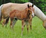 Quarter Horse Colt