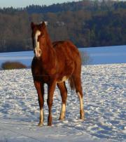 Quarter Horse, Jährling (