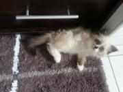 Ragdoll-Kätzchen, 12