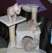 Reinrassige Cornish-Rex-Kitten ( für Allergiker geeignet ) suchen ab sofort ein liebevolles Zuhause Cornish Rex, jung, männlich & weiblich, Farbe: , entwurmt, gechipt, geimpft. Unsere kleinen ... VHS D-77880Sasbach Heute, 23:02 Uhr, Sasbach - Reinrassige Cornish-Rex-Kitten ( für Allergiker geeignet ) suchen ab sofort ein liebevolles Zuhause Cornish Rex, jung, männlich & weiblich, Farbe: , entwurmt, gechipt, geimpft. Unsere kleinen