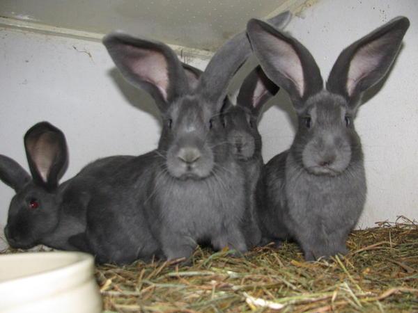 reinrassige 39 deutsche riesen 39 kaninchen blau in schifferstadt kleintiere kaufen und. Black Bedroom Furniture Sets. Home Design Ideas