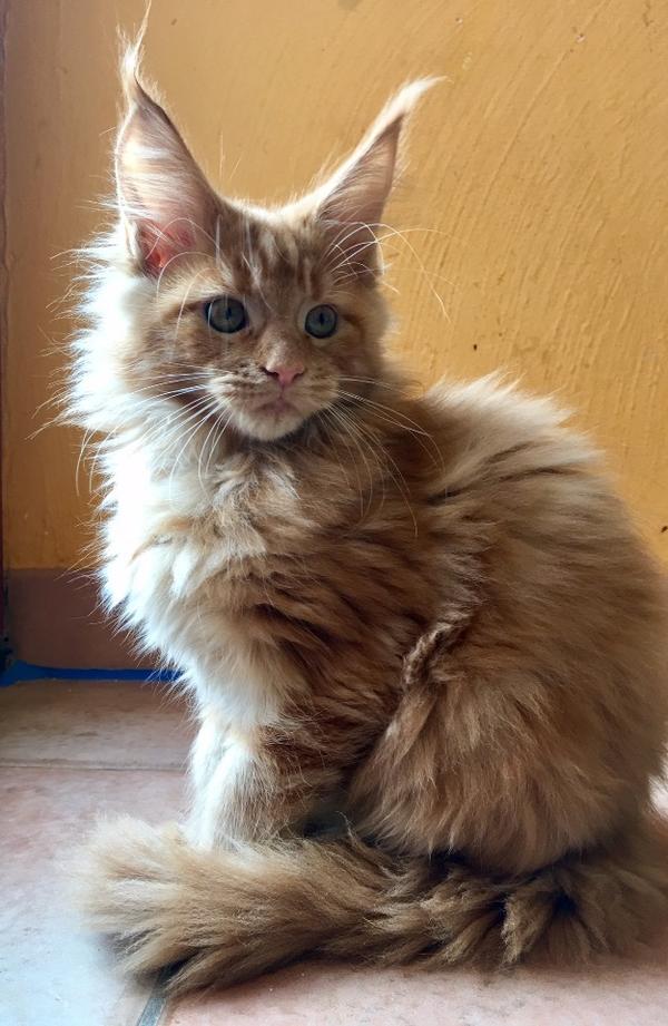 reinrassige sehr liebe maine coon kitten in bergkirchen katzen kaufen und verkaufen ber. Black Bedroom Furniture Sets. Home Design Ideas