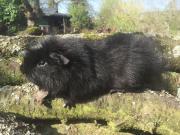 Riesenmeerschweinchen