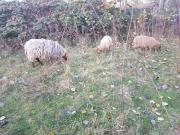 Schafe Coburgerfuchs