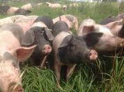 Schlachtschweine aus Freilandhaltung