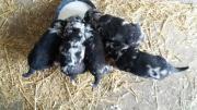 Schnauzer Labrador Mix