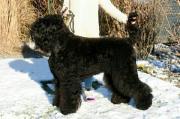 Schwarze Russische Terrier