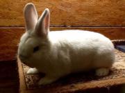 Schwarzgrannen Kaninchen