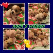 sechs Chihuahua Welpen