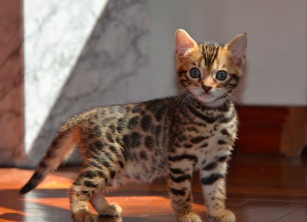 seri se bengal zucht aus berlin vergibt bengal kitten. Black Bedroom Furniture Sets. Home Design Ideas