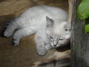 Siam - Kitten