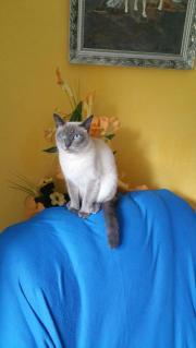 Siam Thai Katze