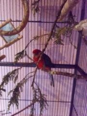 Stanleysittich Pärchen papagei