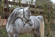 Straight Egyptian Stallion