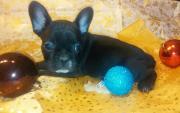 süße Französische Bulldoggen