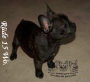 süßer Französischer Bulldoggen