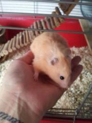 Teddy Hamster mit