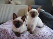 Thaikatzen suchen liebevolle