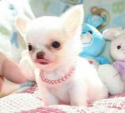 Tiny CHihuahua welpen
