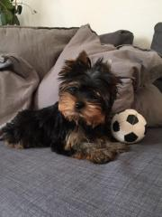 traumhafter Yorkshire Terrier