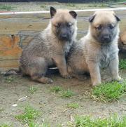 Tschechoslowakischer Wolfshund-Wolfhund-