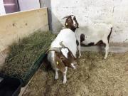 Verkaufe 2 Ziegen