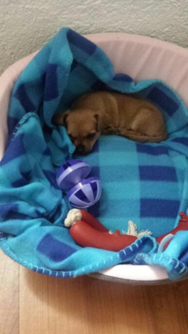 Verkaufe Chihuahua In Ludwigshafen Hunde Kaufen Und