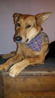 Verkaufe Schäferhundmischling in